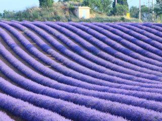 Лавандовые поля Прованса – фиолетовая сказка
